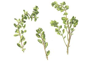 Marjoram Pencil Drawing Isolated