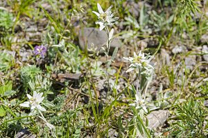 Blooming edelweiss.
