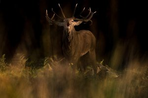 Male deer in rutting season