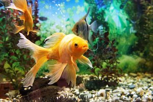 Gold colorful fish