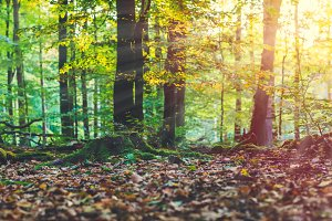 Golden autumn scene in a forest. Evening bright sun rays coming through the tree yellow leaves. Roots covered by the moss