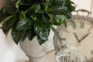 Gardenia leaves in metal vase