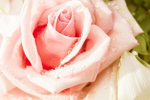 pastel rose flowers for background