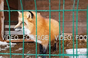 Male of common red Fox and female silver-black fox
