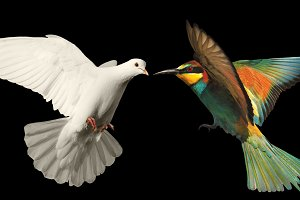 white dove and a colored bird on a black background