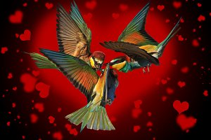 love triangle of birds fighting on the black background of the hearts
