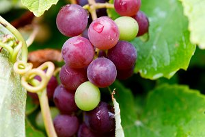 Grapes in autumn harvest