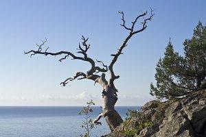 Dead pine tree overlooking the sea.