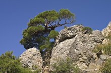 Pine on a rock.