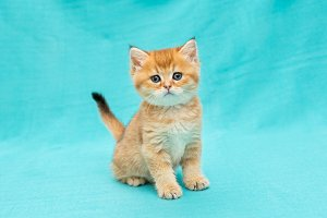 Little red kitten