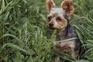 Yorkie Sitting in Tall Grass.