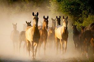 horses herd on sunset in dust