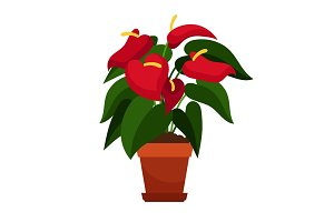 Anthurium houseplant in flower pot