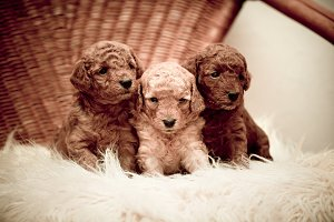 Toy-poodle puppies
