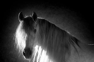 Andalusian horse in studio