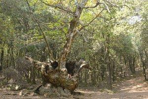 Old chestnut tree.