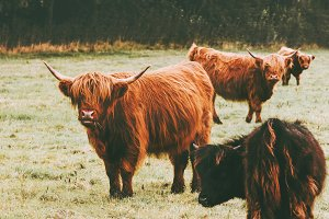 Highland Cattle Cow group farm