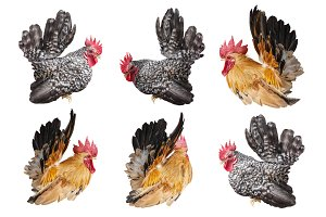 set of chicken bantam