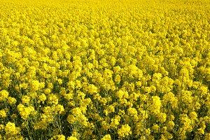 Yellow blossoming rape