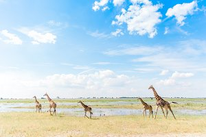 African Safari - Giraffe Tower