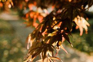 Sunny Japanese Maple