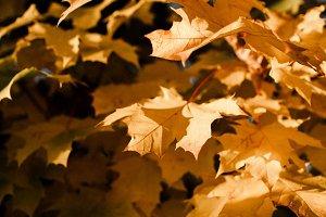 Fiery Maple Leaves