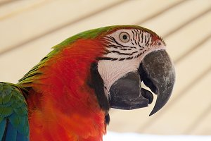 face of the red macaw