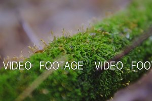 moss on a tree close up. macro shooting. cinematic shot, slow motion. ecology, a new life in the forest.