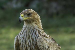 Spanish imperial (Aquila adalberti)