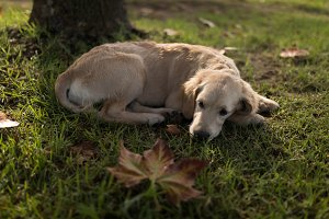 High angle view of Golden Retriever relaxing on grassy field