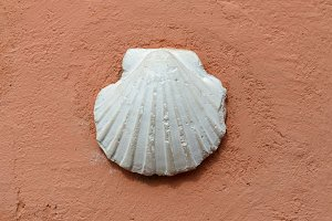 White shell of pilgrim's scallop