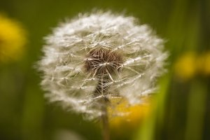 Close up of dandelion flower