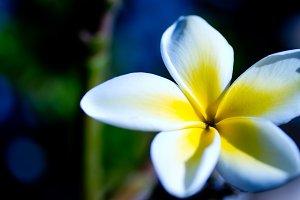 Hawaiian Plumaria