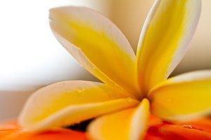 Hawaiian Plumaria Yellow