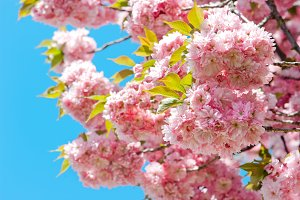 Pink cherry blossom over blue sky