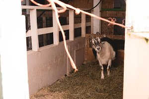Goat in a barn