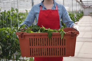 Woman holding wicker basket with fresh plant in green house