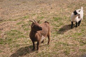 Domestic goats in a farm