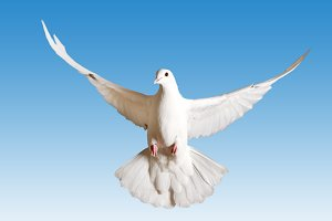 white pigeon symbol of the peace flies on the blue sky