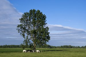 Grazing cows under a tree