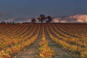Vineyard in rows in autumn in Najera, La Rioja