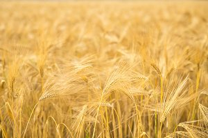 Wheat field close-up.
