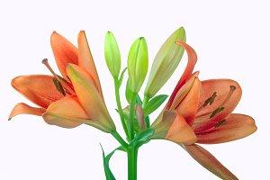Flower- White Background 1.