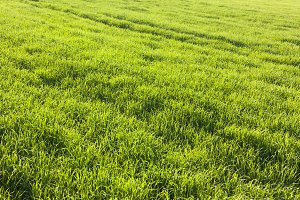 grass field, corn