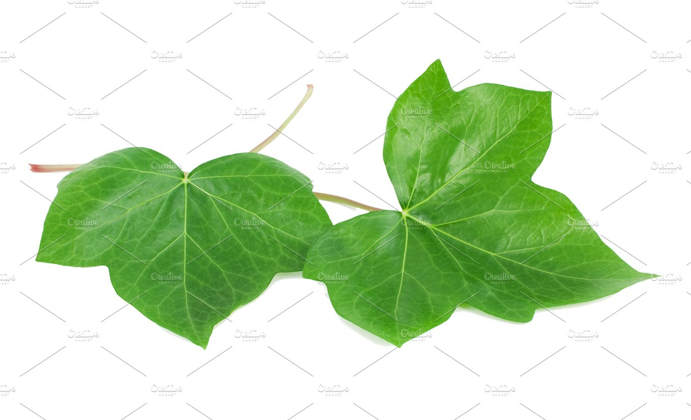 Green leaves of an ivy hedera l nature photos creative market green leaves of an ivy biocorpaavc Gallery