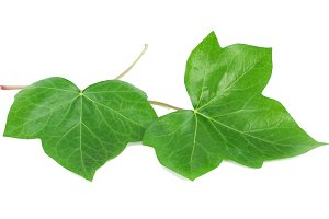 Green leaves of an ivy (Hedera L.)
