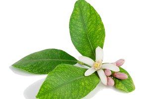 Lemon branch, flower, buds, leaves.