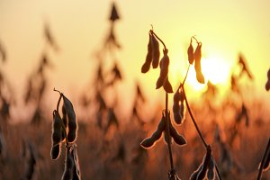 Sunset Soybeans