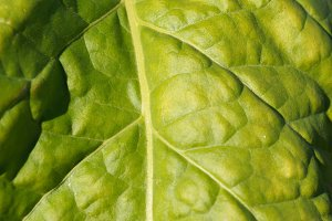 Wrinkled leaves of tobacco