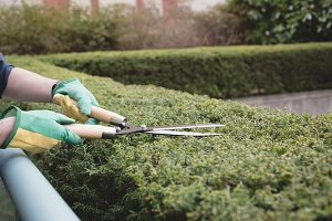 Mans hand cutting the hedges